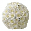 50 WHITE COSMOS DAISY STEM FLOWERS.jpg
